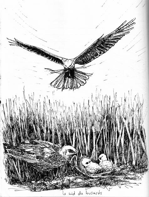 Le nid des busards